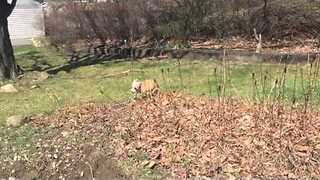 Puppy Finds Joy Playing in a Pile of Leaves - Video