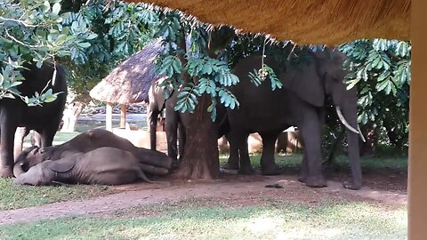 Safari guests enjoy breakfast in restaurant while watching elephants relaxing in the garden