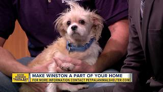 Pet of the week: Winston is an affectionate 4-year-old Shih Tzu looking for his forever family - Video