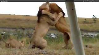 Fight very strong lions