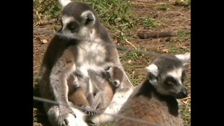Cute Newborn Lemurs - Video