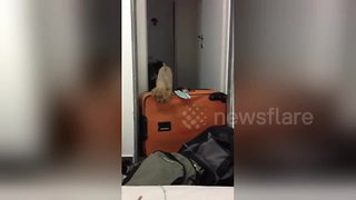 Determined puppy trespasses into room despite suitcase obstacle