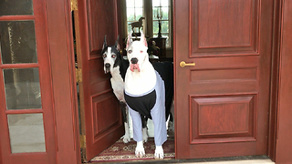 Max and Katie the Great Dane Greeters  - Video