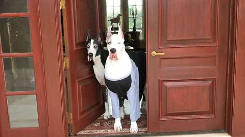 Max and Katie the Great Dane Greeters