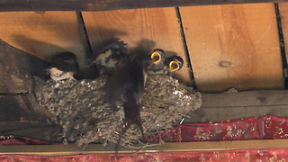 Swallow Chicks  - Video