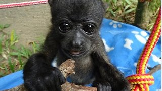 Adorable Baby Howler Monkey Takes First Steps - Video