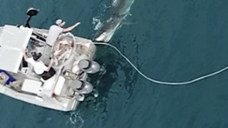 Shark Attacks Boat Off Coffin Bay, South Australia - Video