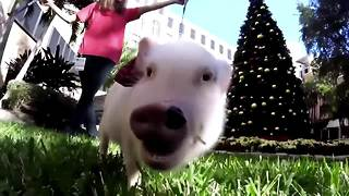 Therapy pigs pay a visit to Florida hospital - Video
