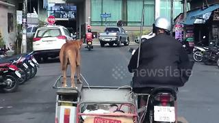 Fearless dog balances on motorbike sidecar as driver cruises - Video