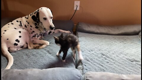 Funny kitten bounces in for a sneak attack on Dalmatian friend