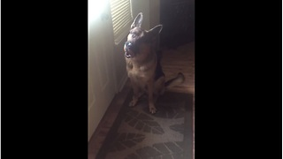 German Shepherd Patiently Waits By The Door To Go Outside - Video