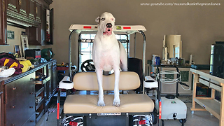 Great Dane demands to be taken on golf cart ride - Video