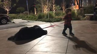 Toddler attempts to walk massive Newfoundland, adorably fails - Video