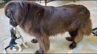 Cavalier puppy adorably attempts to befriend Newfoundland dog