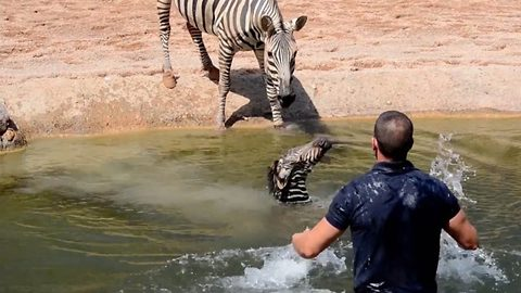 Baby zebra saved from drowning by zookeepers just seconds after being born