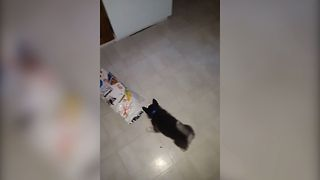Husky Puppy Digs In For Dinner