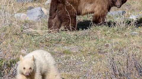Extremely albino brown bear spotted in the wild