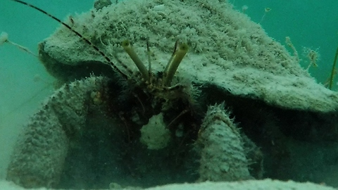 Giant Hermit Crab Has A Very Important Job To Clean The Ocean Floor