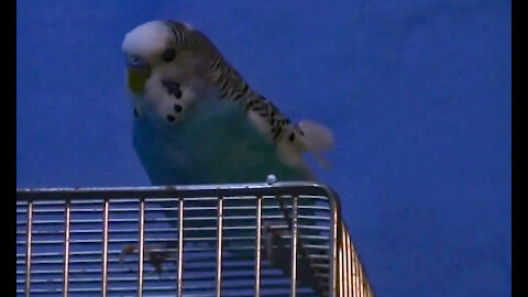 IECV PBV #15 | 👀 Bert In Side And Out Side The Cage 🐤1-19-2014
