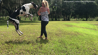 Playful Great Danes Love to Pounce Bounce Run and Jump
