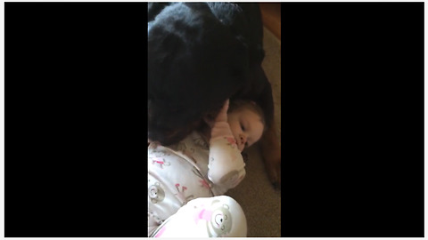 180lb Rottweiler gently plays with little girl