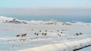 Stunning drone footage shows reindeer herd running across snowy plain