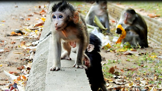 Baby Monkey Wrestling For Getting Wall First Who Win - Video