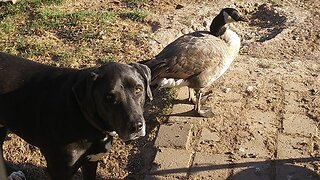 Barking Mad Or Just Quackers? Adopted Canada Goose Thinks It's A Dog After Years Of Growing Up With The Family Dog
