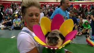 Flower Pug wins second place in costume contest - Video