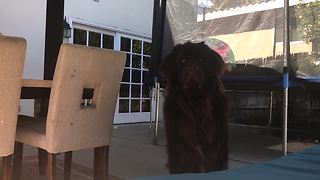 Playing peekaboo with Samson the giant Newfoundland puppy - Video