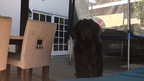 Playing peekaboo with Samson the giant Newfoundland puppy