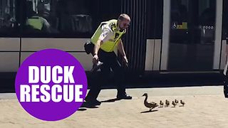 Caring officer caught on camera safely escorting family of ducks across busy road - Video