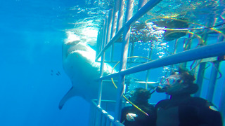 Massive Great White Shark coming up behing divers  - Video