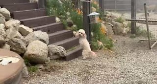 Two-legged dog climbs stairs with a wag in her tail