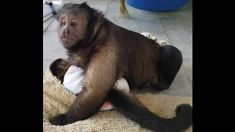 Cute Monkey Holds His Sister and Soothes Her