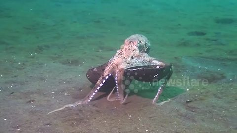 Octopus Goes Coco-Nuts At The Bottom Of The Ocean