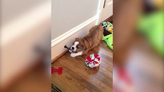 A Boxer Dog In Action - Video