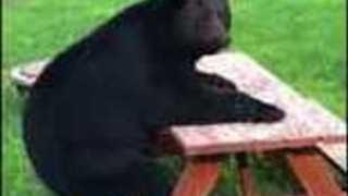 Relaxed Bear Sits Like A Human At The Picnic Table - Video