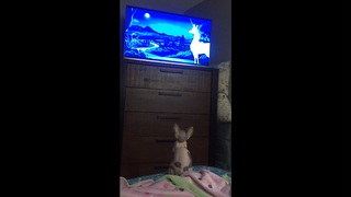Sphynx kitten intently watches TV