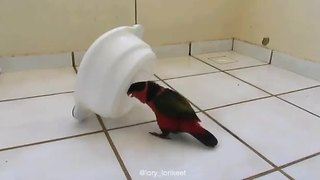 Mischievous parrot purposely spills water bowl