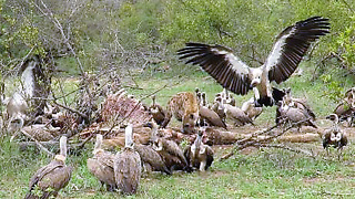 Lone hyena relentlessly chases vultures away from kill - Video