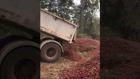 Heartbreaking Video Shows Truckloads of Strawberries Destroyed Amid Needle Contamination Scare