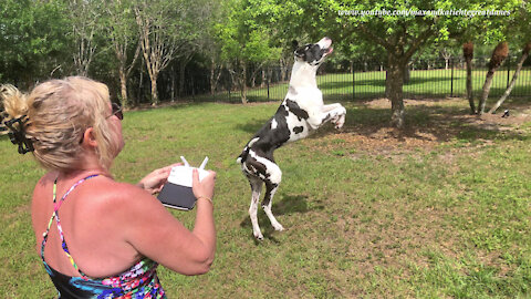 Leaping Great Danes try to catch pesky drone