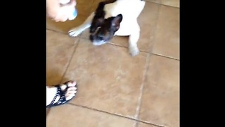 French Bulldog's valiant effort to avoid his ear medicine - Video