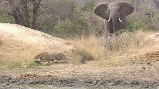 Heroic Elephant Chases Off Unlucky Leopard While Stalking Impala Dinner