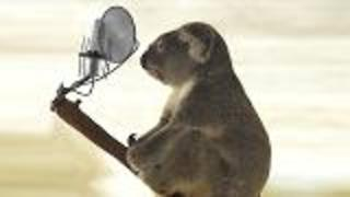 Koala Mating Call  - Video