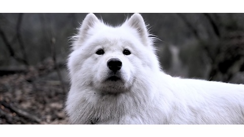 Be Wild - Stay Wild | Samoyed Adventure