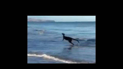 Classic Australia: Kangaroo Goes For Early Morning Dip in the Ocean