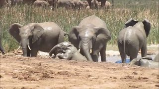 Herd Of Elephants Band Together To Pull Calf From Mud Pool
