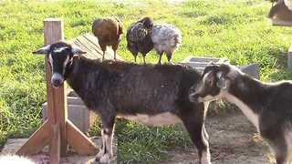 Chickens Love Kidding Around With Goats - Video